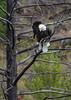 Bald Eagle_N5A3683