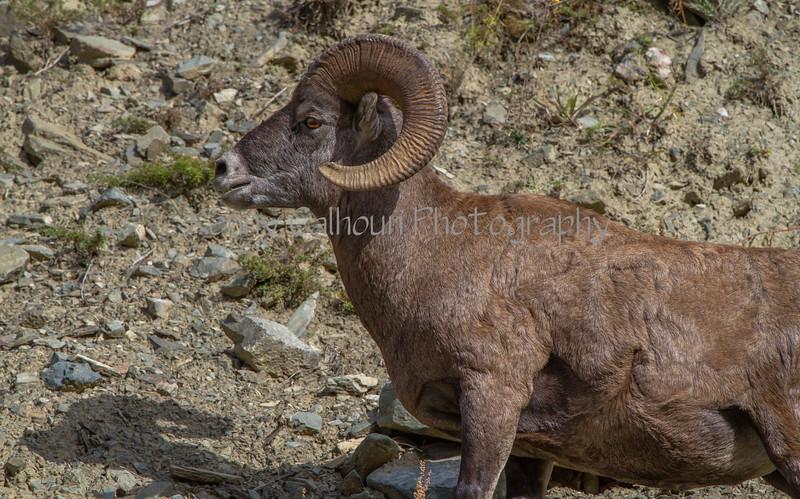 Mountain SheepIMG_5849-2
