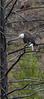 Bald Eagle_N5A3695