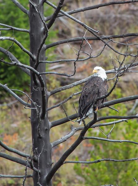Bald Eagle_N5A3668