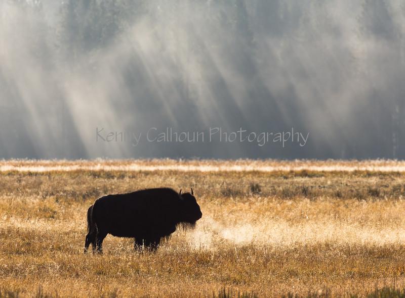 Hayden Valley Buffalo_N5A1746