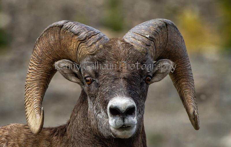Mountain SheepIMG_5732-2-Edit