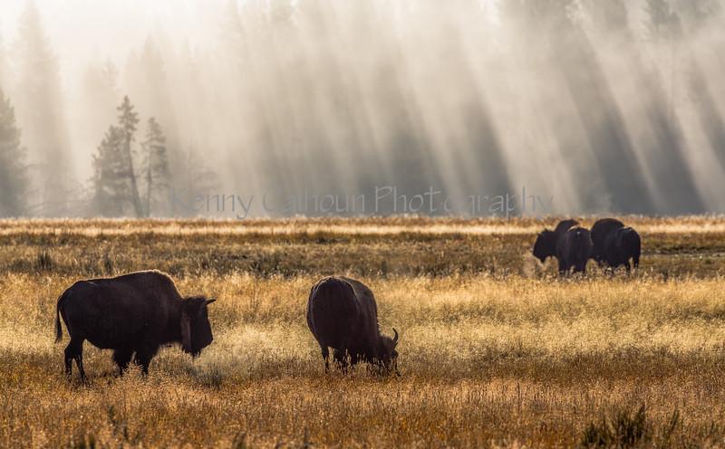 Hayden Valley Buffalo_N5A1700-Edit
