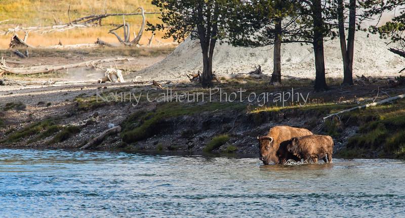 Hayden Valley Buffalo_N5A1828
