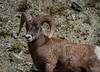 Mountain SheepIMG_5858-2