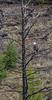 Bald Eagle_N5A3710