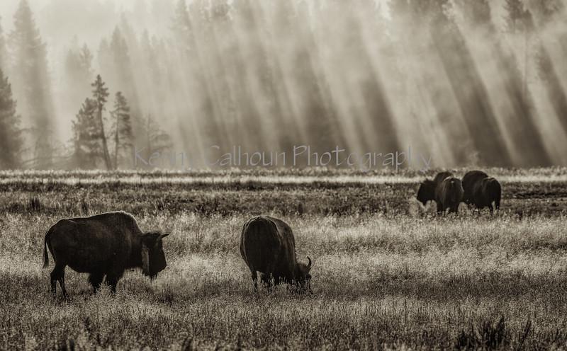 Hayden Valley Buffalo_N5A1700-Edit-Edit