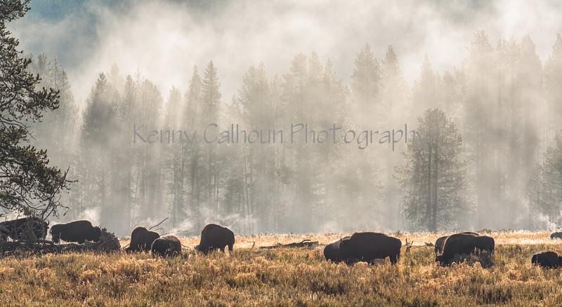 Hayden Valley Buffalo_N5A1771-Edit