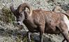 Mountain SheepIMG_5832-2