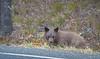 Teton Lake Bears-4123