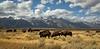 Teton Buffalo-3730