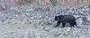 Yellowstone Black Bear-2045