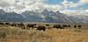 Teton Buffalo-3703