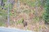 Teton Lake Bears-4143