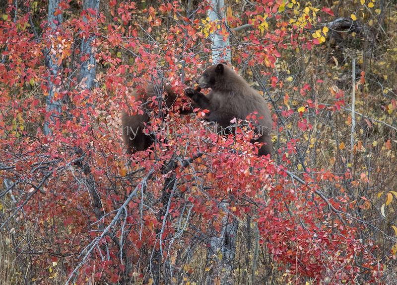Wilson Rd Bears-0104