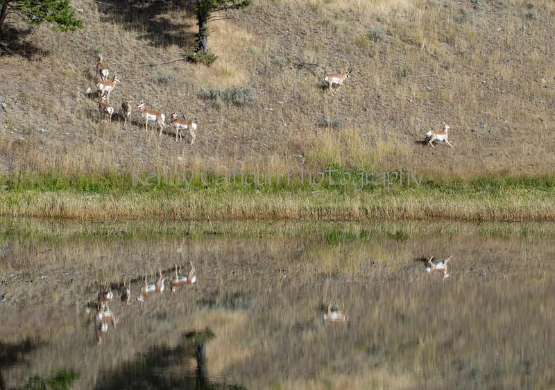 Antelope-8826