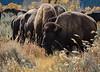 Teton Buffalo-9604