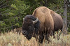 Canyon Buffalo-9047