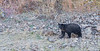 Yellowstone Black Bear-2050