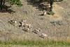 Antelope-8857