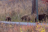 Wilson Rd Bears-3787
