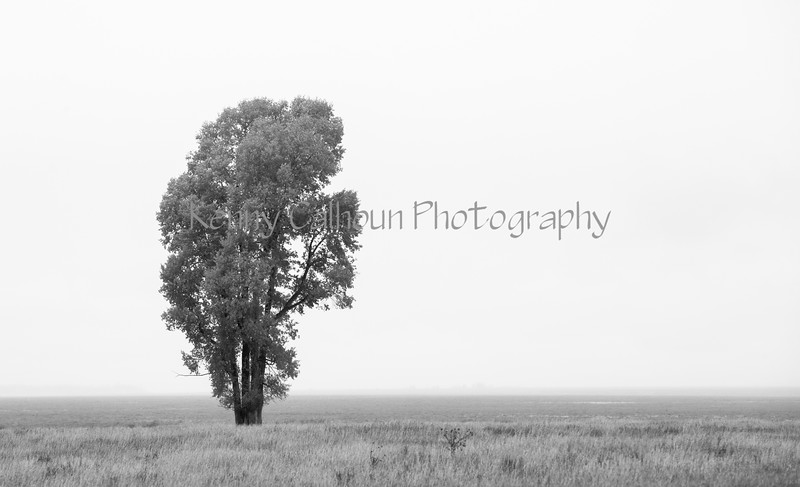 Teton Tree--3
