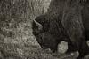 Junction Buffalo-