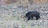 Yellowstone Black Bear-2055