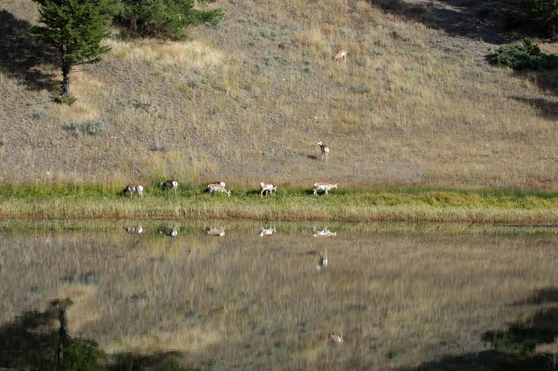 Antelope-8712
