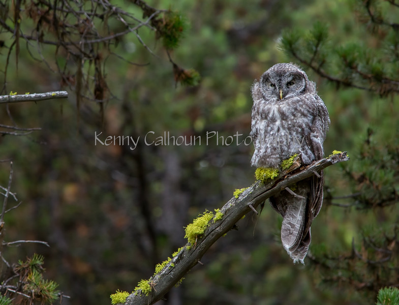 Great Gray Owl--2