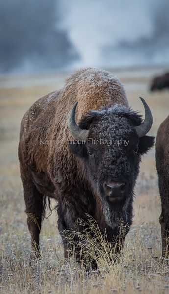 Firehole Ice Buffalo--9