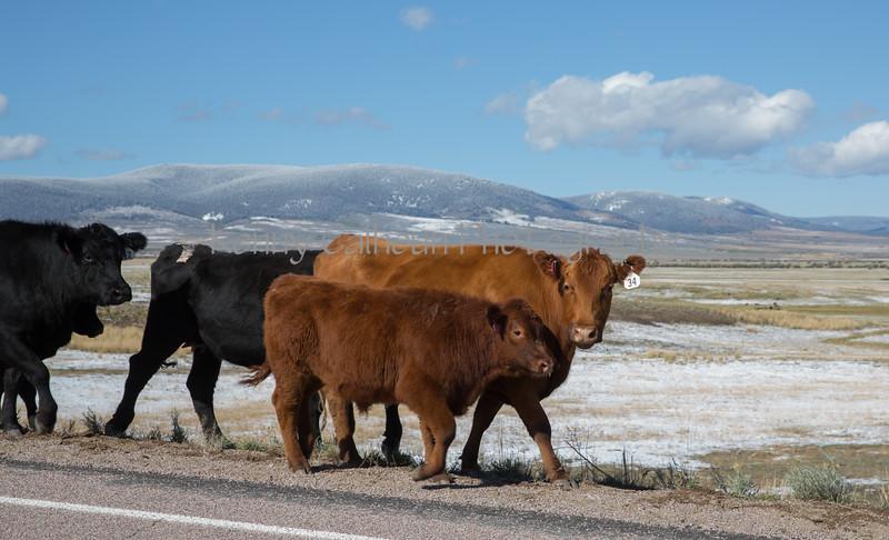 Cattle Jam-8298