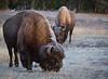 Firehole Ice Buffalo--3
