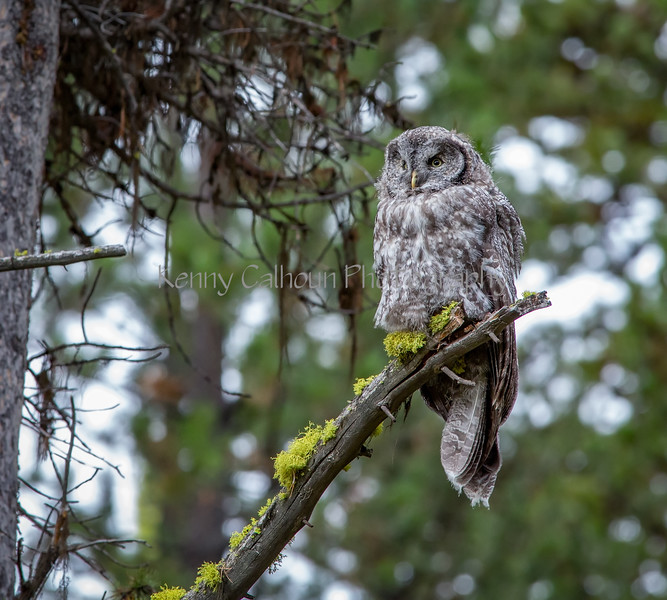 Great Gray Owl-