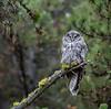 Great Gray Owl--4