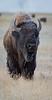 Firehole Ice Buffalo-7915