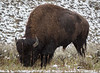 Firehole Buffalo-9702