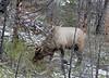 Madison Bull Elk-0002