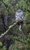 Great Gray Owl--3