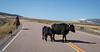 Cattle Jam-8328