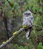 Great Gray Owl--5