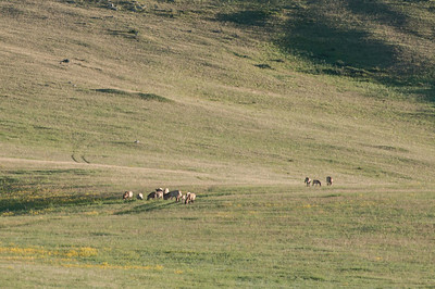 Herd of takhi on a distant meadow.