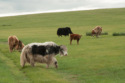Yaks with cows. First generation hybrid gives lots of rich milk.