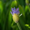 "Agapanthus - ""Lily of the Nile"" (AMARYLLIDACEAE Family)"