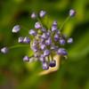 Agapanthus - Amaryllidaceae Family