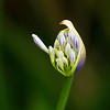Agapanthus, Lily of the Nile
