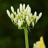 White Agapanthus - Amaryllidaceae Family
