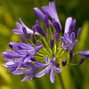 Agapanthus - Lily of the Nile Flower