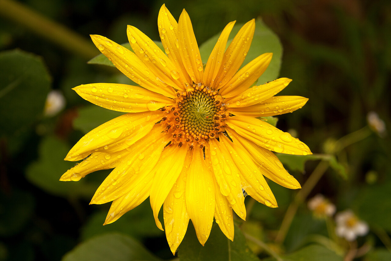 Sunflower - Helianthus annuus, ASTERACEAE Family