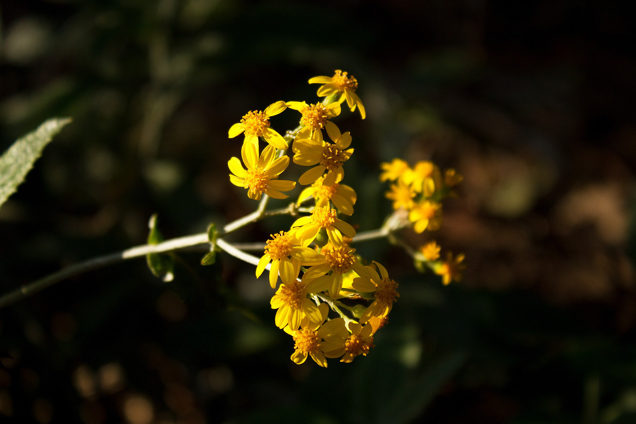 Senecio garlandii - Woolly Ragwort (Asteraceae family)